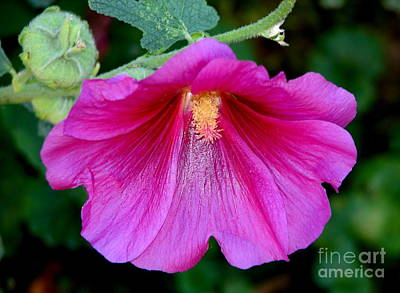 Photograph - Pink Hollyhock Flower Macro by Rose Santuci-Sofranko
