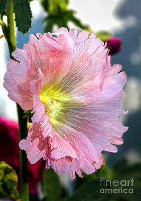 Photograph - Pink Hollyhock by Robert Bales