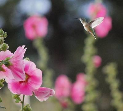Pink Hollyhocks And Hummingbird Art Print