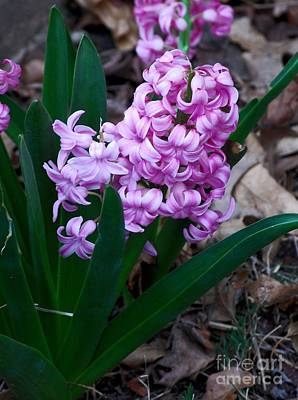 Photograph - Pink Hyacinth by Mark McReynolds