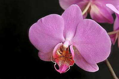 A White Christmas Cityscape - Pink Hybrid Phalaenopsis Orchid by William Tanneberger