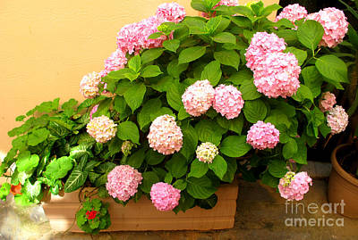 Greek Photograph - Pink Hydrangea by Cimorene Photography