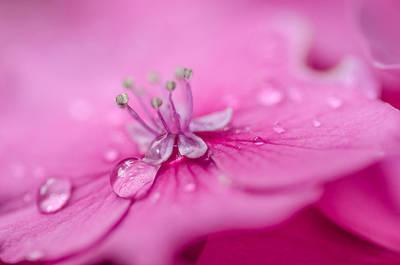 Pink Hydrangea Art Print by Martina Fagan
