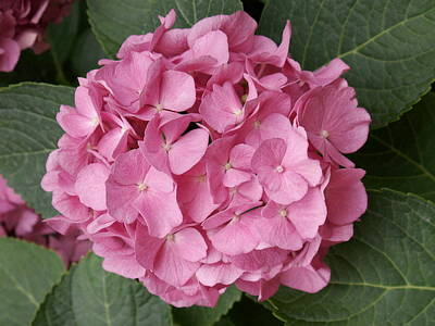 Art Print featuring the photograph Pink Hydrangea by Sandy Molinaro