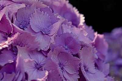 Fineness Photograph - Pink Hydrangeas by Maria Angelica Maira