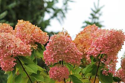Photograph - Pink Hydrangeas by Michael Saunders