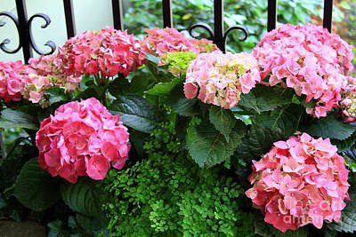 Photograph - Pink Hydrangeas With Fence by Danielle Groenen