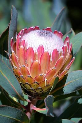 Pink Ice Protea Art Print by Werner Lehmann