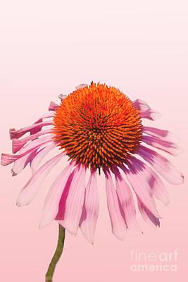 Pink Art Print by K Hines