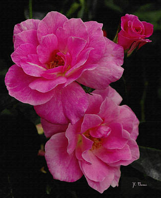 Art Print featuring the photograph Pink Knock Outs by James C Thomas
