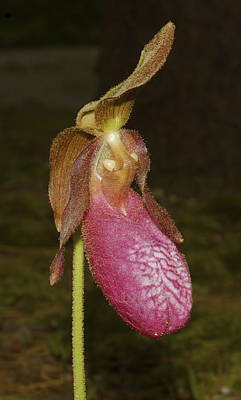 Photograph - Pink Ladies Slipper Orchid by Greg Vizzi