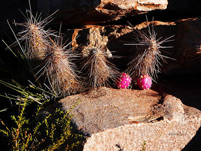 Photograph - Pink Lady Cactus by Xueling Zou