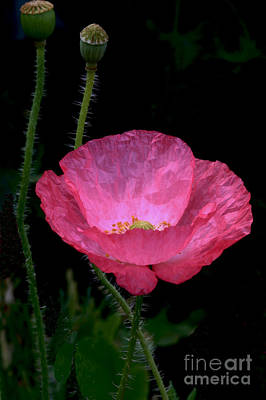 Poppy Wall Art - Photograph - Pink Lady by Gary Wing