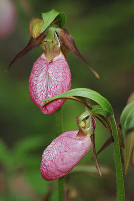 Photograph - Pink Lady Slipper Pair by Alan Lenk