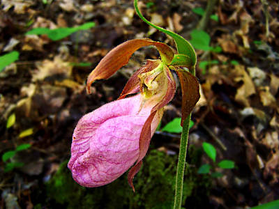 Pink Ladyslipper Orchid Art Print