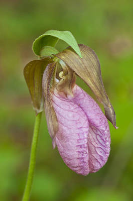 Photograph - Pink Ladyslipper by Paul Miller