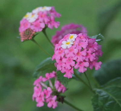 Photograph - Pink Lantana 2 by Cathy Lindsey
