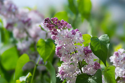 Pink Lilacs And Green Leaves - Featured 3 Art Print by Alexander Senin