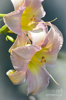 Photograph - Pink Lilies by Amy Porter
