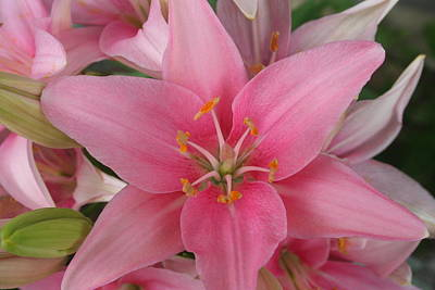Pink Lilies Art Print by Cary Amos