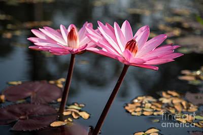 Buddhism Photograph - Pink Lilies by Mindah-Lee Kumar