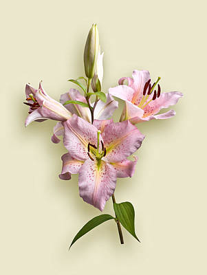 Photograph - Pink Lilies On Cream by Jane McIlroy