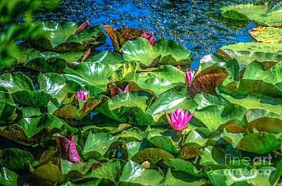Photograph - Pink Lilly Flowers And Pads by Peggy Franz