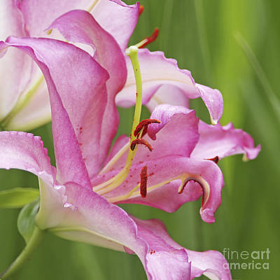 Photograph - Pink Lily 2 by Sharon Talson