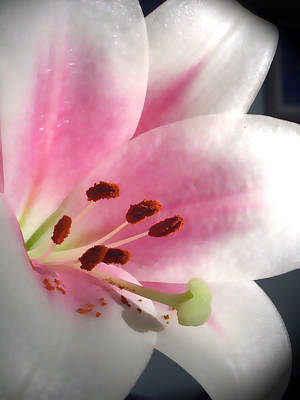 Photograph - Pink Lily by Amber Nissen