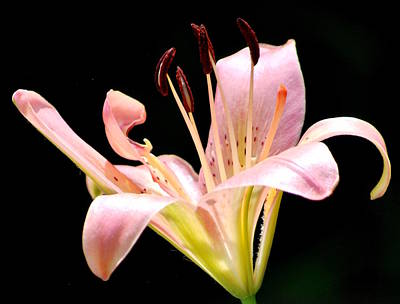 Photograph - Pink Lily by Amee Cave