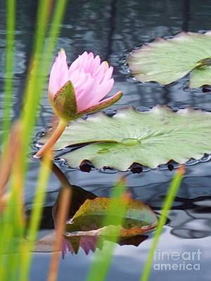 Floral Photograph - Pink Lily And Pads by Eric  Schiabor