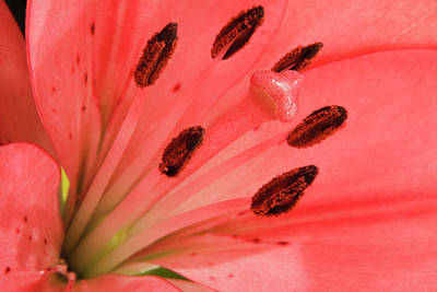 Anthers Photograph - Pink Lily Macro by Adam Romanowicz