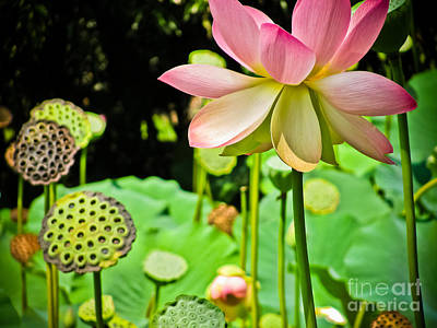 Photograph - Pink Lotus by Colleen Kammerer