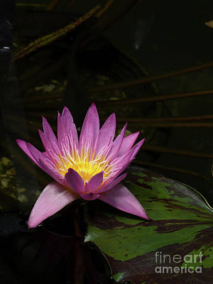 Pink Lotus Flower On Lily Pad Art Print