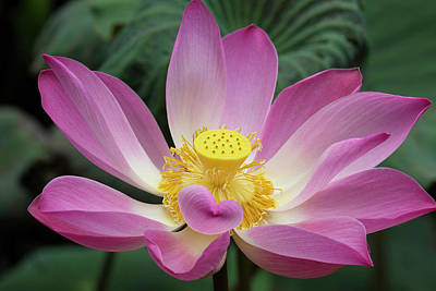 Pink Lotus Flower, Water Lily, Nymphaea Art Print by Emily Wilson