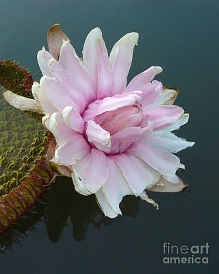 Art Print featuring the photograph Pink Lotus In Water by Mukta Gupta