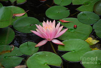 Photograph - Pink Lotus Love 2 by Ankya Klay