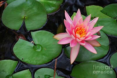 Photograph - Pink Lotus Love by Ankya Klay
