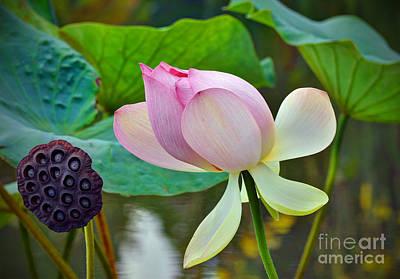 Pink Lotus Art Print by Savannah Gibbs