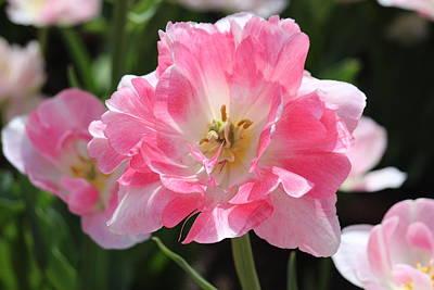 Pink Love Tulip Original