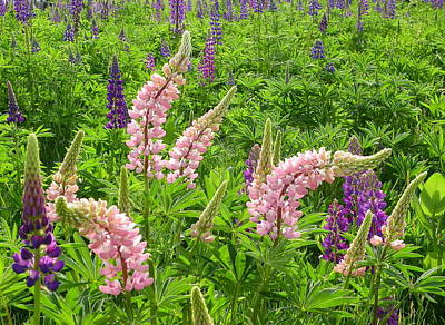 Photograph - Pink Lupine by Georgia Hamlin