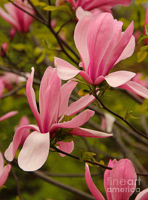 Magnolia Photograph - Pink Magnolia Flowers In Spring by Kerstin Ivarsson
