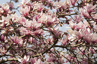 Photograph - Pink Magnolia by Penny Lisowski