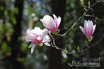 Photograph - Pink Magnolias 20120402_124a by Tina Hopkins