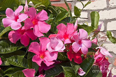 Photograph - Pink Mandevilla by Jill Lang