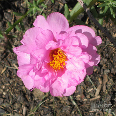 Flower Photograph - Pink Moss Rose Or Portulaca by Conni Schaftenaar