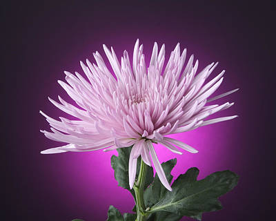 Photograph - Pink Mum by Randy Grosse