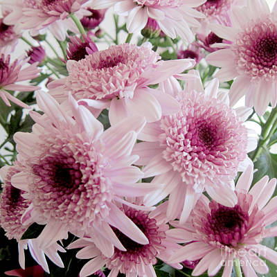 Photograph - Pink Mums by Conni Schaftenaar