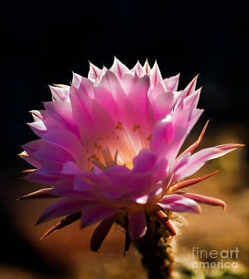 Bloomers Photograph - Pink Night Bloomer by Robert Bales