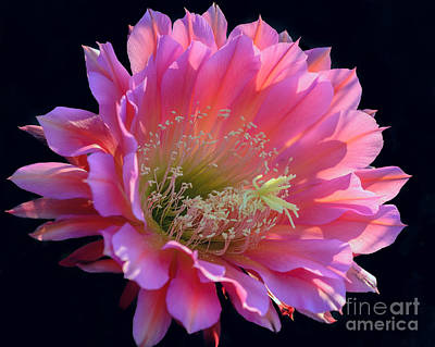Photograph - Pink Night Blooming Cactus Flower by Tamara Becker